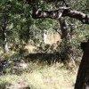 Shy whitetail deer