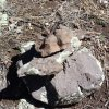 This lizard is the king of his cairn