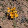 desert wildflowers on the Reavis Ranch trail