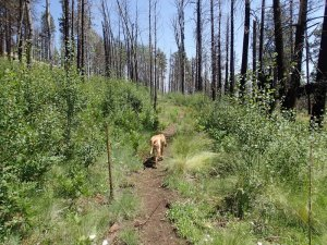 Happy dog along the west fork - little Colorado trail