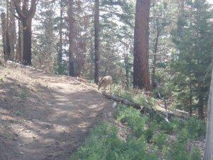 Mule deer on the Uncle Jim trail