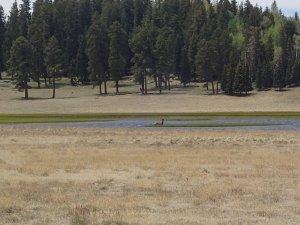 Elk along the Railroad grade trail
