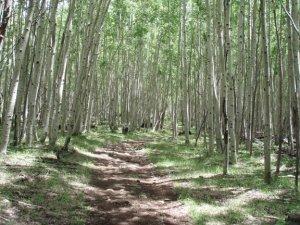 Escudilla mountain aspen