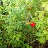 Wild Raspberries along the See canyon trail
