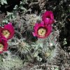 Blooming cactus along the Elephant mountain loop trail (Spur Cross)