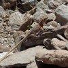 Collard lizard on the Quartz peak trail