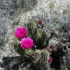 Blooming cactus along the Picketpost mountain trail