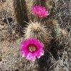 Flowering cactus on the Go John trail