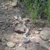 Snake on the Feldmeier trail