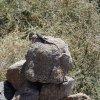 Lizard along the Quartz peak trail