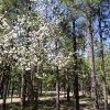 Blooming trees in Canyon point campground