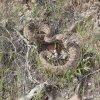 Rattlesnake along the Elephant mountain loop trail (Spur Cross)