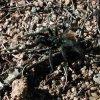 Tarantula on the trail to Granite Mountain