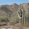 Cuddling Saguaros