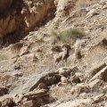 Bighorn sheep in Mohawk canyon